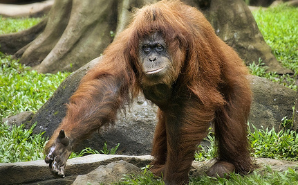Indonesia Zoo Helping Orangutan Quit Smoking After 10 Years (Video)