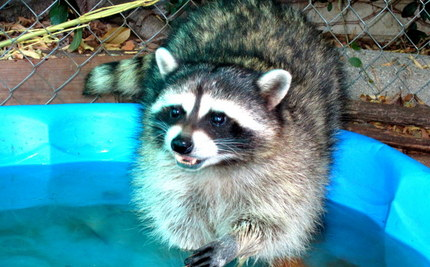 Blind Rescued Raccoon Romps Through the Grass