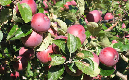 Vancouver Plants Orchards in Parks and Golf Courses