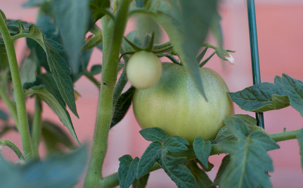 Toxic Tomatoes: What Urban Gardeners Should Know