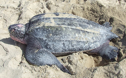 Care2 Success! Leatherback Turtles Protected In Puerto Rico