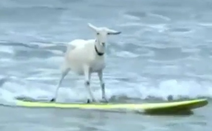 Must-See: Surfing Goats! (Videos)