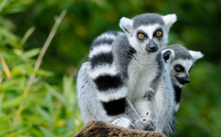 Lemurs Named Most Endangered Mammals on Earth