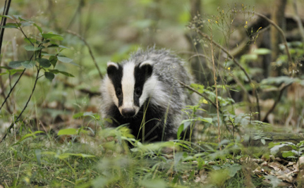 Cruel Badger Cull Gets Legal Go Ahead Despite Flaws