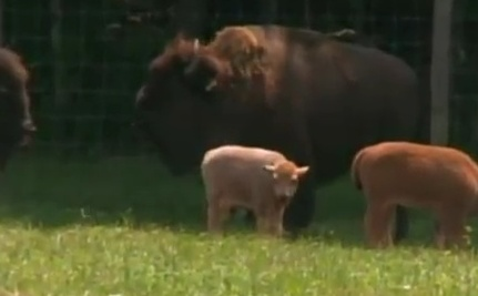 Sacred White Bison Born in Connecticut (Video)