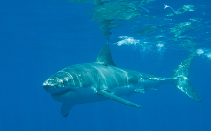 Attacks May Cost Great White Sharks Protected Status