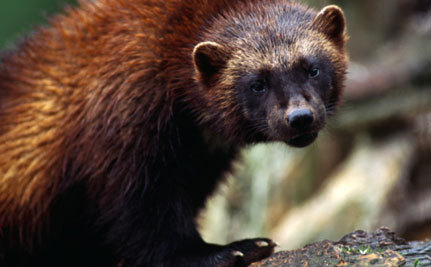 Wolverines Need 'Refrigerators' and May Not Survive a Warming Climate