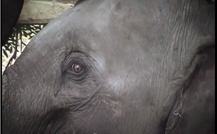 Baby Elephants Captured, Tortured into Submission (Video)