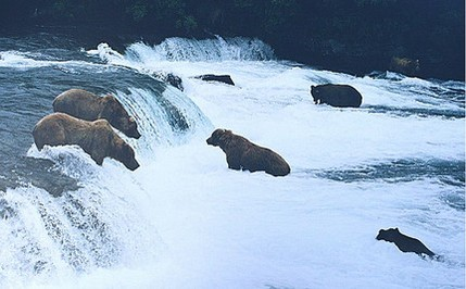 Bearcam Gives Live Feed of Salmon Hunt