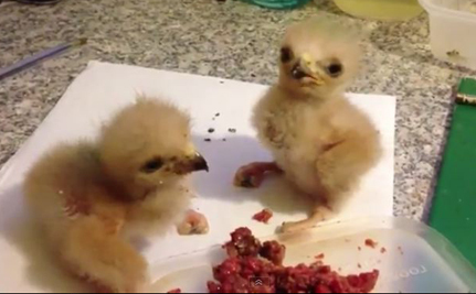 Baby Harris Hawks Squabbling (Video)