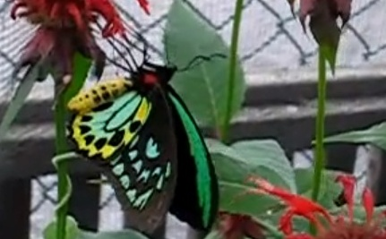 World's Largest Butterfly Could Disappear Forever (Video)