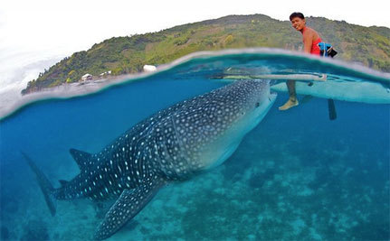 Fermin the Whale Shark Being Loved to Death