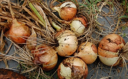Do You Have Contaminated Onions in Your Kitchen?