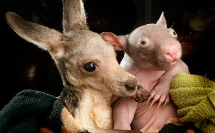 Baby Kangaroo and Wombat Share Pouch