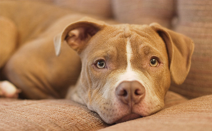 Victory! Massachusetts Bans BSL, Overhauls Animal Protection Laws