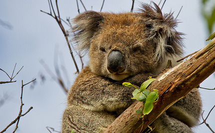5 Reasons Why We Need to Protect Koalas (Video)