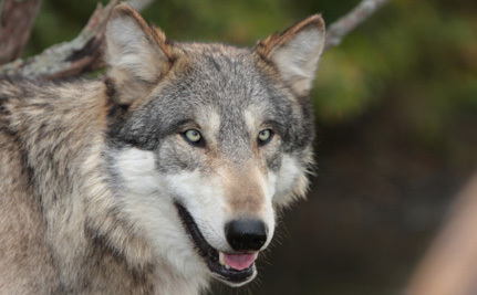 Tourists Get Photos; Wolf Gets Shot