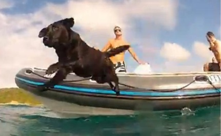Dog Swims With Wild Dolphins (Video)