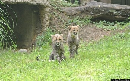 Cheetah Cubs Named For Fastest U.S. Olympic Sprinters