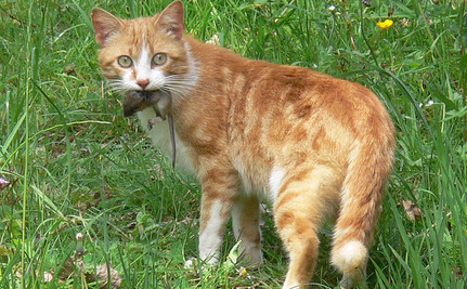 Study Finds Cats Hunt More Critters Than Thought