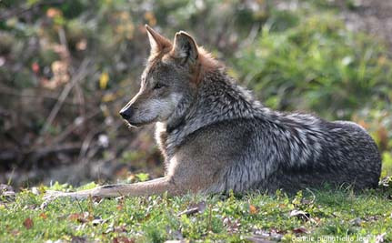 Update: Feds to Shoot Endangered Mexican Gray Wolf