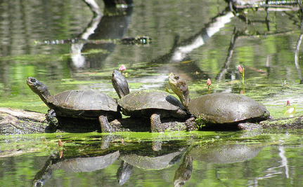 Save the Western Pond Turtle Before It's Too Late (Video)