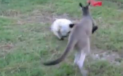 Kangaroo And Lemur Play Tag (Video)