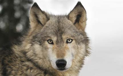 Lawsuit Filed to Stop Wolf Hunting in Wisconsin