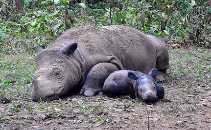 Photos Prove Nearly Extinct Sumatran Rhino Is Still Alive