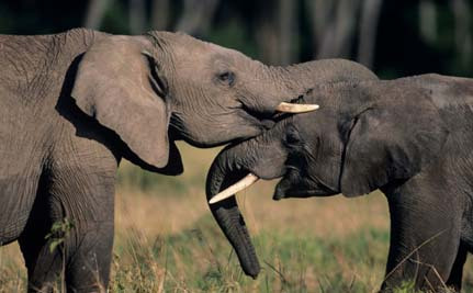 Oppose Legalized Ivory Sales