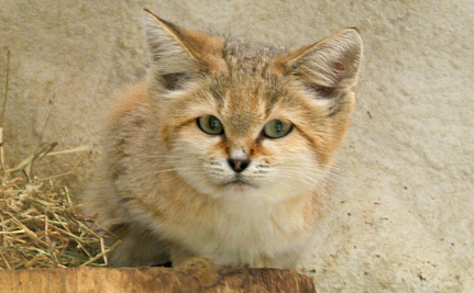 4 Rare (and Adorable) Sand Cat Kittens Born in Israeli Zoo (Video)
