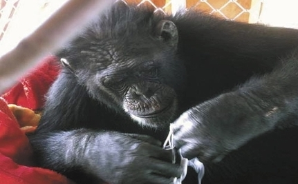 CJ The Escape Artist Chimp Is Headed To Sanctuary
