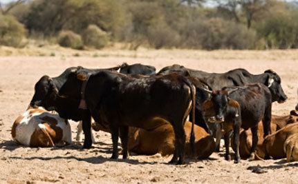 No Feed! Ranchers Face Drought Disaster
