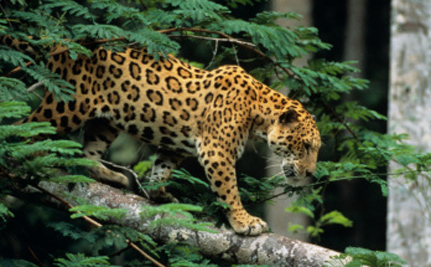 Care2 Success! 838,000 Acres To Be Protected For Jaguars!