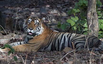 India's Tiger Tourism Ban Means Disaster, Say Activists