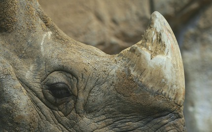 Ending Rhino Horn Poaching (Video)