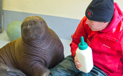 Fishermen Find Lost Baby Walrus, Now Safe at SeaLife Center