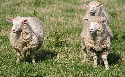 Take Action For 3 Sheep That Died Of Thirst At University