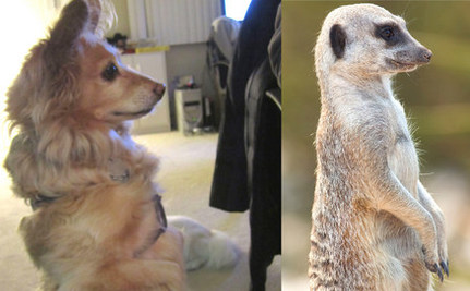 Adopters Discover Meerkat Dog's Dark Past