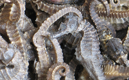 Over 16,000 Asia-Bound Dried Seahorses Seized in Peru