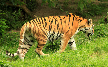 Human Error Leaves Zookeeper, Tiger Dead in Germany