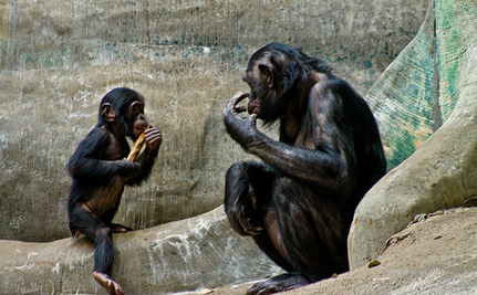 Bonobos Can Make Stone Tools…and That's Freaking Cool