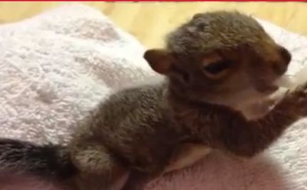 Baby Squirrel Being Fed (Video)
