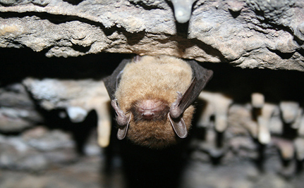 Pennsylvania Considering Endangered Status for Bats