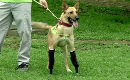 Dog Walks Again on Prosthetic Legs (Video)