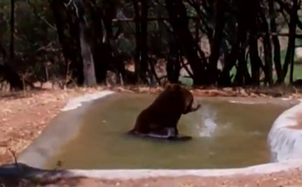Ben the Bear Free from His Tiny Concrete Cage (Video)