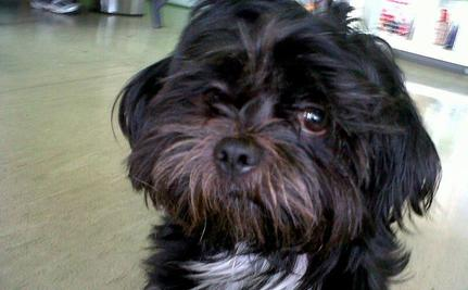 Paralyzed & Homeless Gordo The Shih Tzu Gets A Second Chance