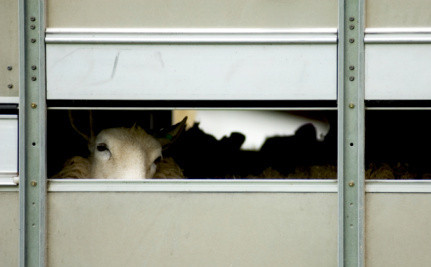 Update: Slaughterhouse Closed for Cruelty is Back in Business One Week Later