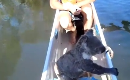 Koala Swims For It, Gets Canoe Ride (Video)
