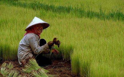 Wild Gene Boosts Rice Yield, Feeds World?